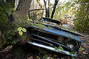 Switzerland, Kaufdorf, Gürbetal valley near Bern :hisotrical car cemetery. The Autofriedhof (car cemetery) is an extraordinary collection of rotting cars dumped by a spare parts salesman on land behind his workshops since the 1930s..The range of cars is fantastic: from Minis and Peugeots to old Chevrolets, Mustangs, Thunderbirds, Rileys and Jaguars from the 1950s and earlier.