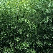 China, Bamboo forest near city of Hangzhou.