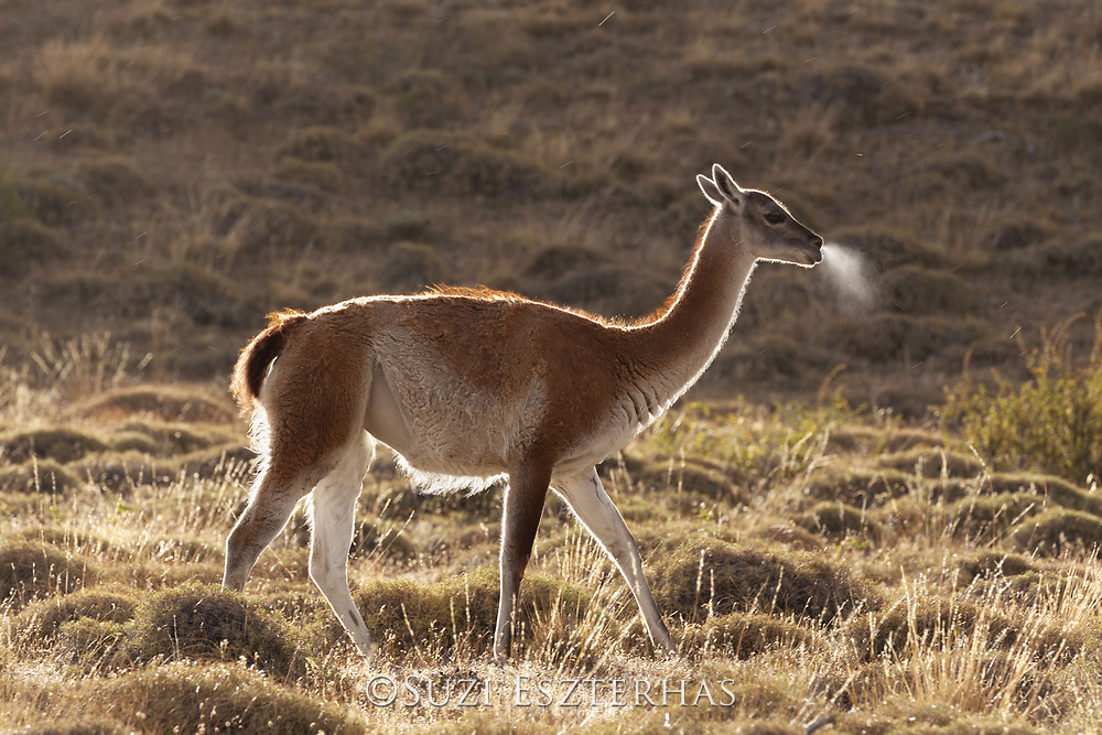 Guanaco<br /> Lama guanicoe<br /> Torres del Paine National Park, Chile