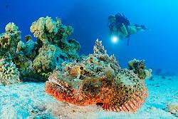 Scorpaenopsis oxycephala, Baertiger Drachenkopf und Taucher, Tassled scorpionfish and scuba diver, Safaga, Rotes Meer, Ägypten, Red Sea Egypt, MR Yes