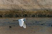 Snowy Egrets in Ballona Creek, Los Angeles, California, USA