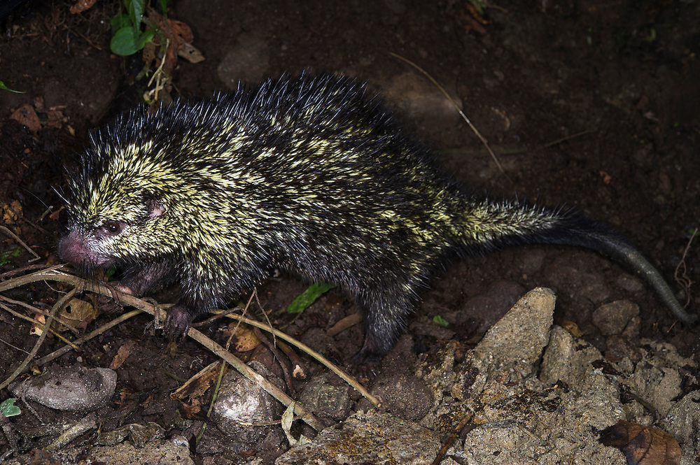Rothschild's Tree Porcupine (Coendou cf. rothschildi)<br /> Mindo Cloud Forest,<br /> Western slopes, Andes, Ecuador<br /> Rarely seen arboreal porcupine with prehensile tail