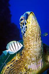 green sea turtle, Chelonia mydas, being cleaned by convict tang, Acanthurus triostegus, Kona, Big Island, Hawaii, USA, Pacific Ocean