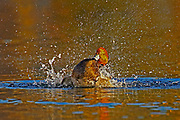 Redhead Duck, Aythya americana, male splashing in water, Lakewood, Colorado aquatic-birds close-ups details fowl free independence natural-world ornithology untamed water waterfowl web-footed wild Zoology