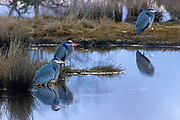 Three great blue herons (Ardea herodias) hunt for fish in the Edmonds Marsh, Edmonds, Washington.