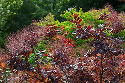 Cotinus coggygria Purpureus Group in flower. Smoke bush