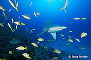 sandbar shark, Carcharhinus plumbeus, with parasitic copepods on snout, swims through school of bluestripe snapper or taape, Lutjanus kasmira, Honokohau, North Kona, Hawaii (the Big Island),  United States ( Central North Pacific Ocean )
