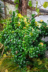 Ligustrum japonicum 'Rotundifolium' - Japanese Privet