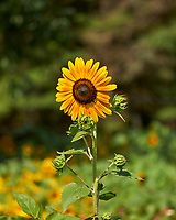 Sunflower. Image taken with a Leica CL camera and 55-135 mm lens
