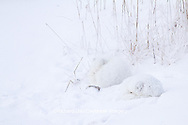01863-01417 Two Arctic Foxes (Alopex lagopus) in snow Chuchill Wildlife Mangaement Area, Churchill, MB Canada