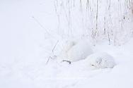 01863-01417 Two Arctic Foxes (Alopex lagopus) in snow Chuchill Wildlife Mangaement Area, Churchill, MB Canada