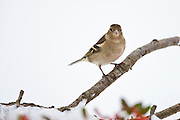 Chaffinch perches by snowy slope during winter in The Cotswolds, UK