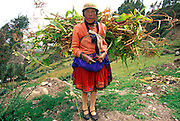 ECUADOR, HIGHLANDS, CANAR Canari Indian carrying fodder