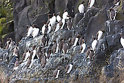 Endangered species Common Guillemot or Common Murre colony of seabirds, Uria aalge, of the auk family (part of the order Charadriiformeson) on cliffs on Isle of Canna part of the Inner Hebrides and Western Isles in West Coast of Scotland