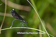 06014-002.09 Ebony Jewelwing (Calopteryx maculata) female, Lawrence Co. IL