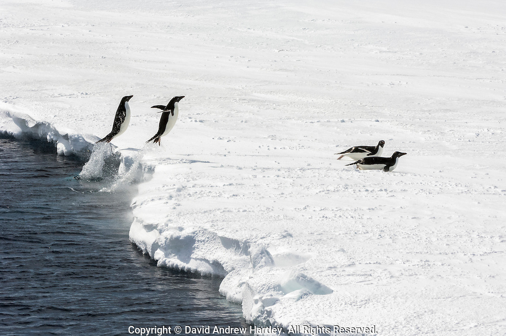 Two Adélie Penguins (Pygoscelis adeliae) launch themselves out of the water and onto the ice, Admiralty Sound, Antarctic Peninsula.