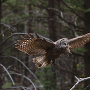 Male Great Gray Owl flying in bringing vole to female nesting with chicks in Montana.