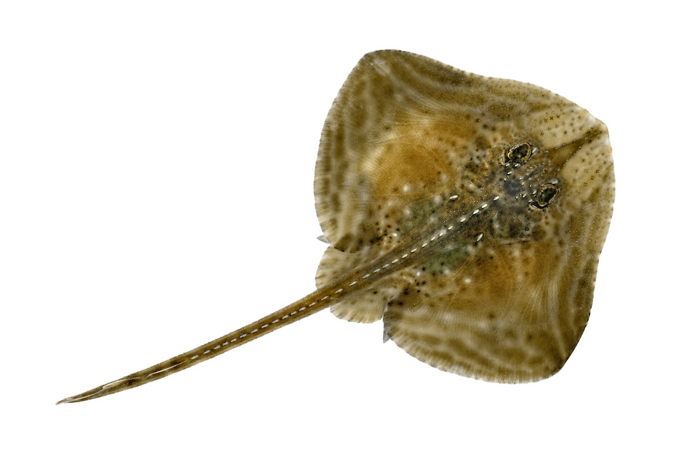 Small-eyed Ray Raja microocellata Length to 75cm<br /> Well-marked ray. Found in mouths of estuaries and sandy bays. Adult has typical ray shape with rather short snout. Upper surface is grey-brown with pale lines and spots. Lays eggs, protected in a tough case. Widespread and locally common in S and W only.