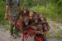 Keepers at IAR transport juvenile orangutans from the patch of forest where they spent the day learning skills for the wild back to their cages<br />
