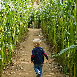 A young boy (age 4), wanders a corn maze at the Moulton Farm in Meredith, New Hampshire.