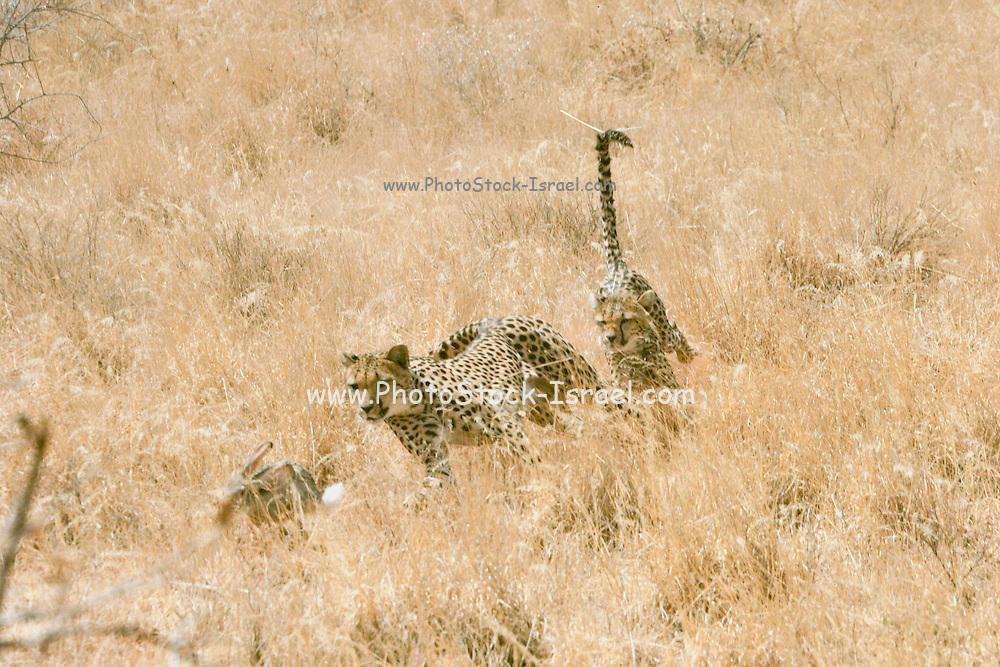 Africa, Kenya, Samburu National Reserve, two Cheetahs (Acinonyx jubatus) hunting a hare