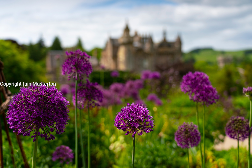 Melrose, Scotland, UK. 4 June 2021. Purple colours of Allum flowers in full bloom in walled garden at Abbotsford House in Melrose , Scottish Borders. Abbotsford House is former home of Scottish writer and poet Sir Walter Scott. Iain Masterton/Alamy Live News