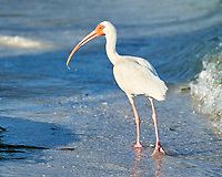 White Ibis (Eudocimus albus). Image taken with a Nikon D3s camera and 70-300 mm VR lens.