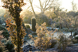 First light of dawn over the frozen pond in John Massey's garden on a frosty winter's morning. Backlit leaves of Fagus sylvatica 'Dawyck' (Beech) in the foreground