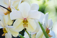 A close-up of Dendrobium hybrids, white orchids at the St. Rose Nursery, La Mode, St. George's, Grenada, West Indies, Caribbean