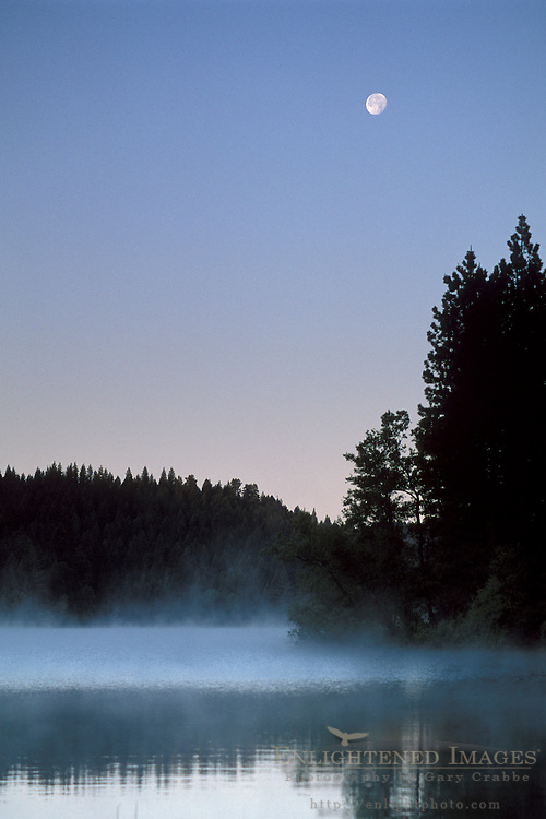 Moon at dawn over trees and forest at Jenkinson Lake, Sly Park, El Dorado County, Sierra foothills, California