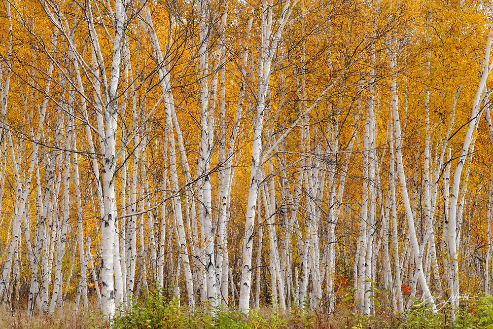 White birch (Betula papyrifera) woodlot in autumn, Greater Sudbury, Ontario, Canada
