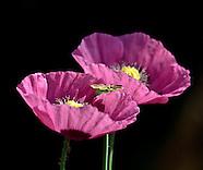2010 Lensbaby Poppy Pollination