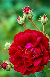 Rosa 'Tuscany Superb'. Double velvet rose