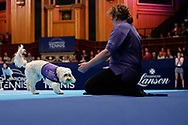Hattie with a ball in her mouth the new Albert Hall ball boy,  with her handler watching.<br /> Ball dogs step onto the court at the Royal Albert Hall for the first time in UK history during this year's Champions Tennis event in association with Skinner's Pet Food, with dogs provided by Canine Partners. <br /> During the Champions Tennis match at the Royal Albert Hall, London, United Kingdom on 6 December 2018. Picture by Ian Stephen.