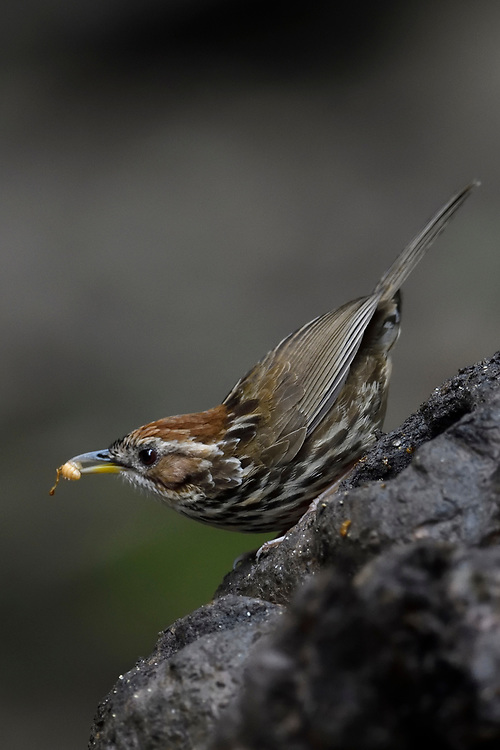 Puff-throated Babbler, Pellorneum ruficeps, feeding while sitting on a tree trunk in Hong Bung He, Dehong, Yunnan, China