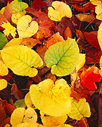 Beech-Maple Forest floor in autumn with heart-shaped leaves of Big-Leaved Aster, Aster macrophylla, Proud Lake State Recreation Area, Oakland County near Milford, Michigan.