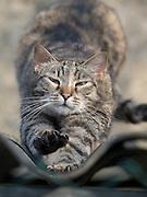 Haus- und Straßenkatze Speedy.<br /> <br /> Street- and housecat Speedy.
