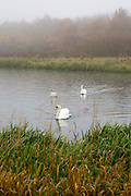 A family of swans swimming in the rain and mist on Stenton Ponds, Glenrothes, Fife. Scotland.