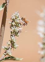 Honeybee, Apis mellifera, on flowers of whte sage, Salvia apiana. Mendocino County, California