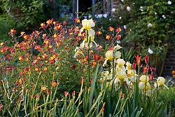 Iris and aquilegias in The Cottage Garden at Sissinghurst Castle in May