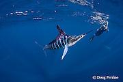 photographer Brandon Cole takes a picture of a striped marlin, Kajikia audax (formerly Tetrapturus audax ), feeding on baitball of sardines or pilchards, Sardinops sagax, off Baja California, Mexico ( Eastern Pacific Ocean ); MR 399