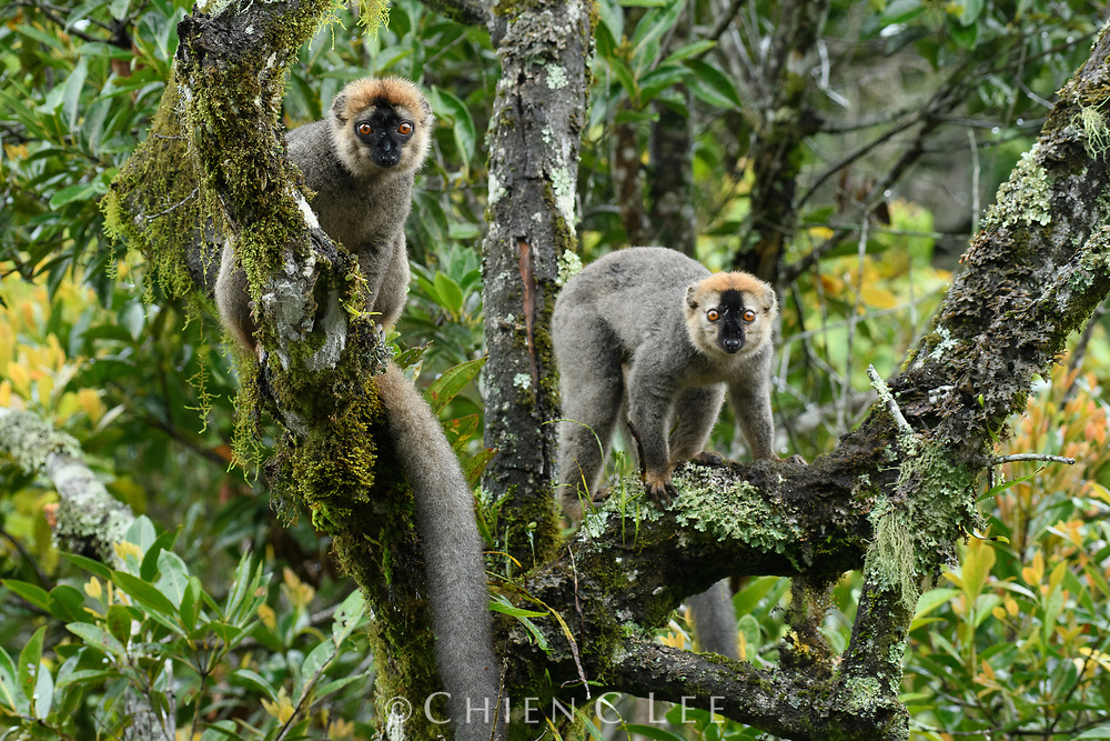 Red-fronted Brown Lemur (Eulemur rufifrons). Ranomafana National Park, Madagascar.