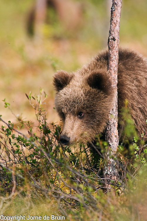 An Eurasian Brown Bear Cub stands against a tree in a swamp in Finland.