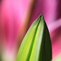 """""""Budding Lily""""<br /> <br /> Lovely soft hues of green and pink. A delicate green Lily bud with pink petals in the background!!<br /> <br /> The Lily Gallery by Rachel Cohen"""