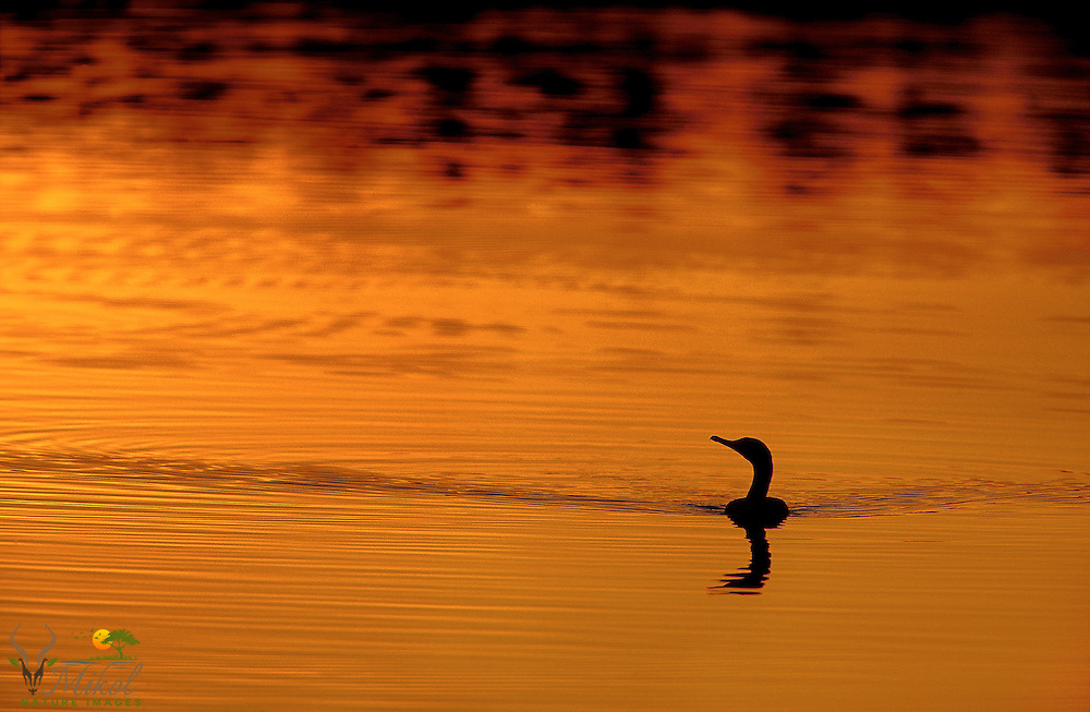 Double-crested cormorant swimming with silhouette reflected in water at sunset