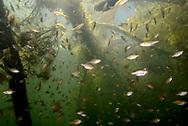 Bluegill (juvenile fish under fallen pine tree)<br /> <br /> Engbretson Underwater Photography