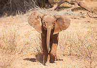 A baby elephant practicing his mock charges with pure dedication but little conviction. Samburu National Reserve, Kenya