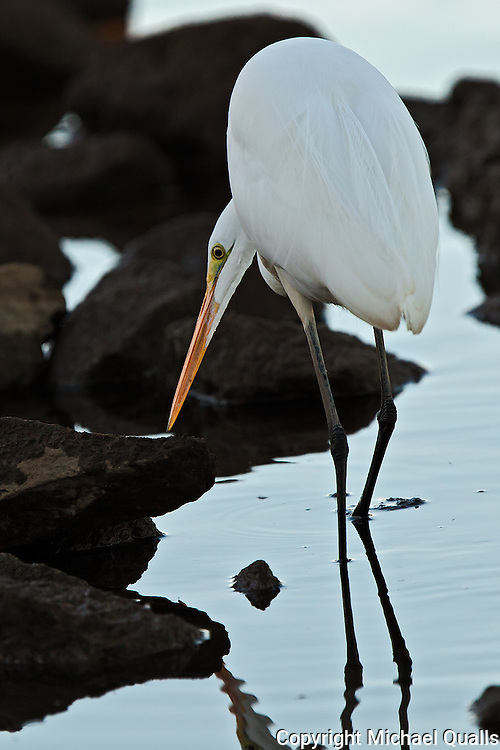 Great Egret searching for prey at the shoreline of Lake Murray.