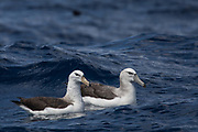 Shy Albatross (Thalassarche cauta) & Black-browed Albatross (Thalassarche melanophrys)<br /> South of South Africa<br /> Western Cape<br /> South Africa<br /> Juveniles<br /> 60 miles south of Gansbaai