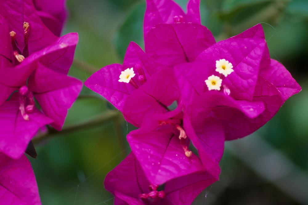 Bougainvillea (Bougainvillea spp.), Allerton Garden, National Tropical Botanical Garden, Kauai, Hawaii, US